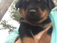 We have 1 male and 4 female Purebred German Rottweiler