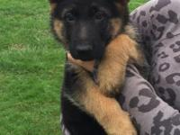 Purebred AKC Full signed up young puppies. Stunning