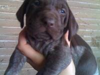 9 purebred akc registered german shorthair pointer