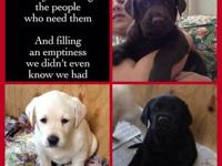 Beautiful purebred labs just born October 14th and