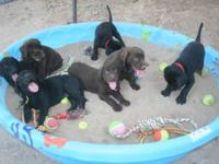 Purebred AKC Labrador Retriever Puppies w/champion