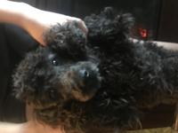 Beautiful purebred miniature male poodle puppy, jet