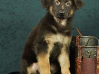 Meet Judge! He is a PLUSH COAT black and tan purebred