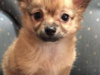 Wolf sable very handsome long coat male Chihuahua. Very