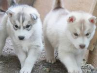 I still have 3 beautiful purebred Siberian Husky