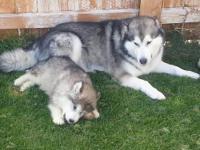 Beautiful purebred Alaskan Malamute puppies for sale. 2