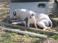 American Bulldog Puppies 3/4 Johnson 1/4 Scott. Parents