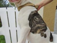 This is Seba. He is a white and brindle spot male,
