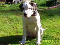 Beautiful Purebred American Bulldog Female Puppy 4