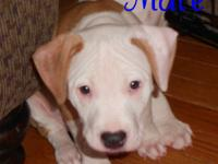 Male American pit bull terrier. 9 weeks old. Up to date