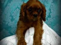 Come see our beautiful litter of Cavalier King Charles