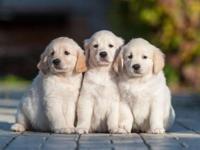 We have a handsome litter of English Golden Retriever