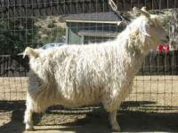 Purebred (not papered) Angora Doe. Had two healthy kids