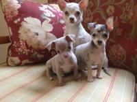Chihuahua puppies , super friendly , up to date on