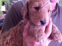 Gorgeous Purebred Apricot Standard Poodle puppies.