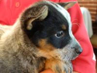 We have 1 male Blue Heeler pup for sale. Mom (Tink) is