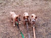 PUREBRED Australian cattle dog puppies due Aug 25th