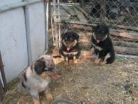 Purebred Australian Shepherd puppies. Born March 2,