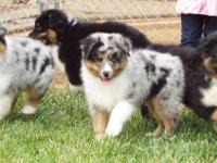 I have purebred Australian Shepherd puppies for sale.