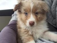 Purebred Australian Shepherd, 8 weeks old, has first