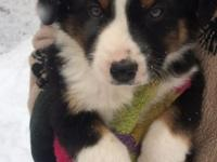 Darling Aussie dogs fr 2 litters. We have smaller more
