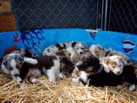 We have 5 female and 2 male Australian Shepherd pups