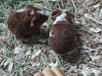 I have three Purebred Teddy guinea pig babies.Born