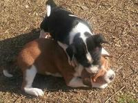 taking deposits on basenji puppies now ship worldwide