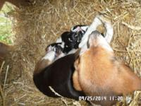 I have a litter of purebred Beagle young puppies, they