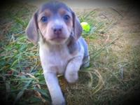 ADORABLE Purebred Beagle Pup! Born September 11 ~ 8