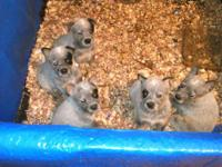 AKA: BLUE HEELERS ALL GIRLS BORN 9/3 VERY WELL MARKED ,