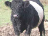 FOR SALE PUREBRED BELTED GALLOWAY BULL GREAT FOR