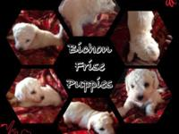 We have Bichon Frise puppies for sale. I have 3 males