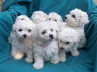 Wonderful litter of 8 (yes eight ,count them!) Bichon