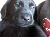Purebred black laboratory young puppies born august