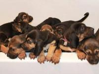 Purebred Bloodhound Puppies. No Papers. Pre-loved and