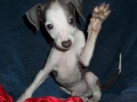 Pup is Blue with White male with wild Irish markings,