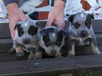 Purebred Australian cattle dogs also known as blue and