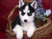 Animal Type: Dogs Breed: Siberian Husky Male and female