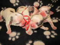 I have male and female blue heeler puppies for sale.