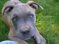 Litter of adorable PUREBRED PURPLE RIBBON blue nosed