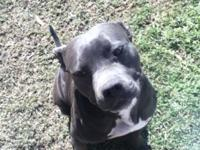 Purebred blue Pitbull female 3 yrs old not fixed..$200