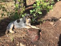 Purebred Bluetick Coonhounds - can be UKC registered