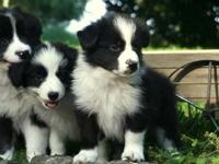 We have a gorgeous litter of border collie puppies, now