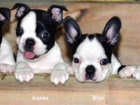 Cutest Purebred Boston Terrier Puppies Ever! Three 8