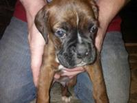 Purebred boxer young puppy without papers. Ready to go