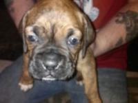 Purebred boxer without papers. All set to go April 10th