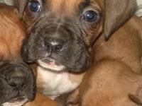 7 Purebred Boxer Puppies. 6 Male $450.00 and 1 Female