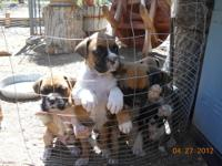 We have 6 female boxer puppies left. They have