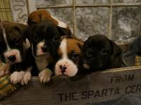 We have CKC signed up fighter puppies from champion